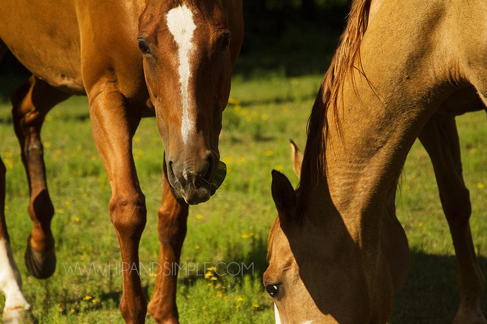 Farm Horse Pictures - Trussville, AL - 10